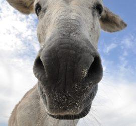 Osioł nos